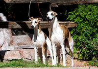 whippet and ibizan